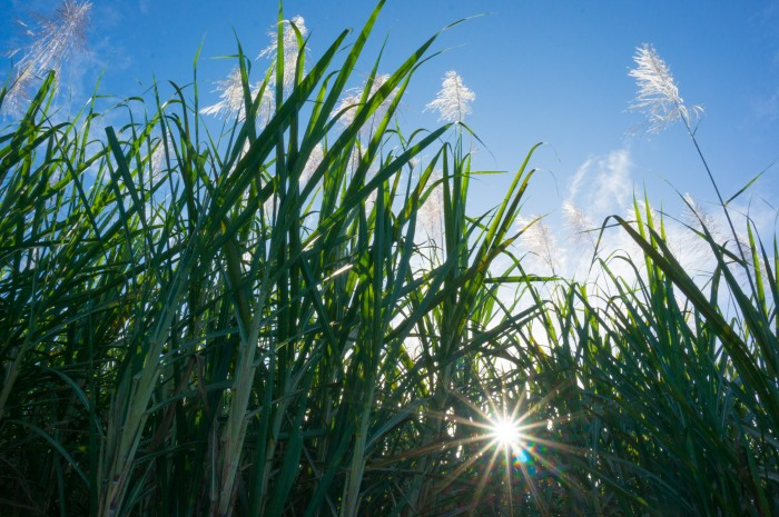 Sun Peeking Through Sugarcane