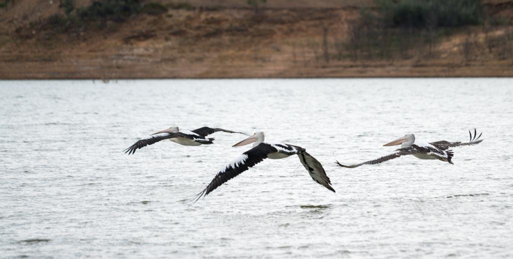 Pelican-5